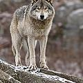 Timber Wolf Pictures 495 by World Wildlife Photography