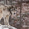 Timber Wolf Pictures 498 by World Wildlife Photography