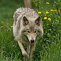 Timber Wolf Pictures 59 by Wolves Only