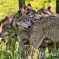 Timber Wolf Pictures 61 by Wolves Only