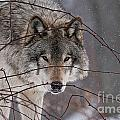 Timber Wolf Pictures 620 by World Wildlife Photography