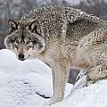 Timber Wolf Pictures 683 by World Wildlife Photography