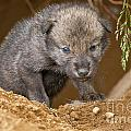 Timber Wolf Pictures 782 by World Wildlife Photography