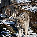 Timber Wolf Pictures 957 by World Wildlife Photography