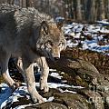Timber Wolf Pictures 969 by World Wildlife Photography