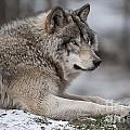 Timber Wolf Portrait by Wolves Only