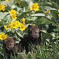 Timber Wolf Pups And Flowers North by Gerry Ellis