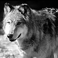 Timber Wolf by Stephanie McDowell