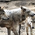 Timber Wolves by Patricia Quandel