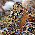 Timberdoodle The American Woodcock by Timothy Flanigan