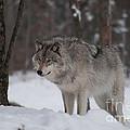 Timberwolf Series 4 by Bianca Nadeau