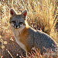 Fox Timmy At Sunset by Dave   ILes