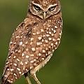 Tiny Burrowing Owl by Sabrina L Ryan
