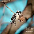 Tiny Downy On Hickory Nut by Robert Frederick