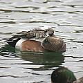 Tiny Duck Cleaning 1 by Rob Luzier