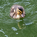 Tiny Duckling by Kate Brown
