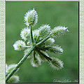 Tiny Flower Head Before Bloom by Debbie Portwood