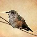 Tiny Hummingbird Resting by Sabrina L Ryan