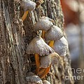 Tiny Mushrooms On The Side Of A Stump by Chuck Buckner
