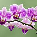 Tiny Orchid Faces by Georgette Grossman