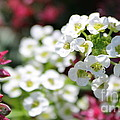 Tiny Pink And Tiny White Flowers 2 by Renee Croushore