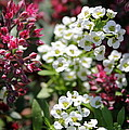 Tiny Pink And Tiny White Flowers by Renee Croushore