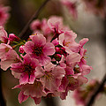 Tiny Pink Blossoms by Lorenzo Williams