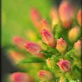 Tiny Pink Buds by Susan Cliett