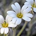 Tiny White Flowers #1 by Beth Sawickie