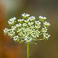 Tiny White Flowers by Sotiris Filippou