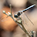 Tired Dragonfly Square by Carol Groenen