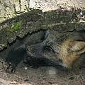 Tired Fox by Jayne Gohr