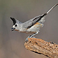 Titmouse Preparing For Takeoff by Dave Mills