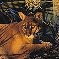 Tk0397, Thomas Kitchin Florida Panther by First Light