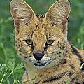 Tk0524, Thomas Kitchin Serval. Huge by First Light