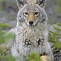 Tk0607, Thomas Kitchin Coyote In Spring by First Light