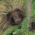 T.kitchin 14107c, Porcupine In Spruce by First Light
