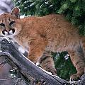 T.kitchin 15274d, Cougar Kitten by First Light