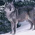 T.kitchin, 19821c Gray Wolf, Winter by First Light