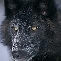 T.kitchin Tk1731e, Gray Wolf, Timber by First Light