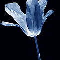 To The Light Tulip Flower In Blue by Jennie Marie Schell