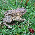Toad  by Stacey May