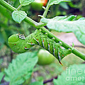 Tobacco Hornworm - Manduca Sexta - Six Spotted Hawkmoth by Mother Nature