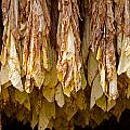Tobacco by Melinda Fawver