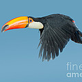 Toco Toucan In Flight by Anthony Mercieca