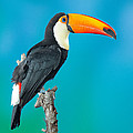 Toco Toucan Perched by Anthony Mercieca