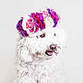 Toffee The Maltipoo by Joy Hsieh