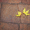 Together Yellow Maple Leaves by Terry DeLuco