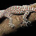 Tokay Gecko In Defensive Display by Chien Lee