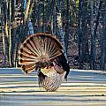 Tom Turkey Fan by MTBobbins Photography